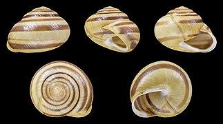 Cepaea hortensis - Shell 21.jpg