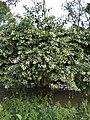 Cephalanthus occidentalis (পানী কদম ২).jpg