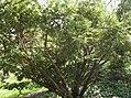 Cephalotaxus harringtonia.jpg