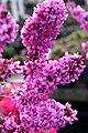 Cercis chinensis Avondale 15zz.jpg