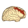 Cerebrum - middle frontal gyrus - lateral view.png
