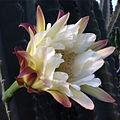 Cereus hildmannianus (18677519113).jpg