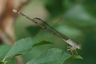 <i>Ceriagrion</i> genus of insects