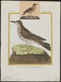 Certhilauda capensis - 1700-1880 - Print - Iconographia Zoologica - Special Collections University of Amsterdam - UBA01 IZ16100367.tif