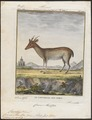 Cervus muntjac - 1700-1880 - Print - Iconographia Zoologica - Special Collections University of Amsterdam - UBA01 IZ21500364.tif