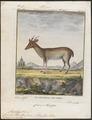 Cervus muntjac - 1700-1880 - Print - Iconographia Zoologica - Special Collections University of Amsterdam - UBA01 IZ21500364.tif