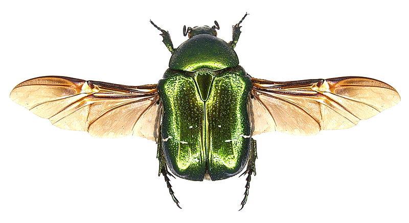 File:Cetonia aurata Linné, 1761 (2987339120).jpg