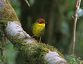 Cettia castaneocoronata Eaglenest Sanctuary.jpg