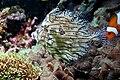 Chaetodermis penicilligerus 3.jpg