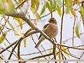Chaffinch (Fringilla coelebs) (37766825754).jpg
