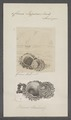 Chama lazarus - - Print - Iconographia Zoologica - Special Collections University of Amsterdam - UBAINV0274 077 01 0003.tif