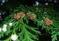 Chamaecyparis lawsoniana (Lawson cypress) Old female cones.JPG