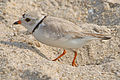 Charadrius melodus -Cape May, New Jersey, USA -adult-8 (5).jpg