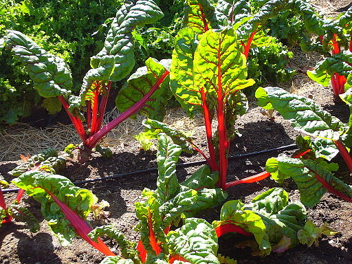 Chard in the Victory Garden