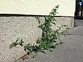 Chenopodium murale sl39.jpg