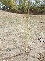 Chenopodium urbicum sl47.jpg