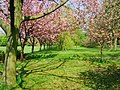 Cherry Blossom Trees - geograph.org.uk - 790842.jpg
