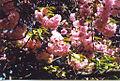 Cherry Blossoms Prospect Park.jpg