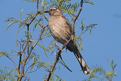Chilean Mockingbird.jpg