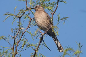 Mockingbird - The Chilean mockingbird, Mimus thenca.