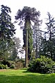 Chilean Pine at Nuneham Courtney Arboretum - geograph.org.uk - 1262979.jpg