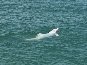 Chinese white dolphin - Adult Chinese white dolphin swimming off the coast of Lantau Island, Hong Kong