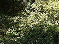 Chionanthus mala-elengi (Dennst.) P.S.Green (8364212637).jpg