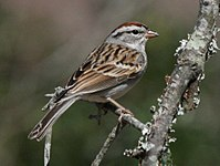 Chipping Sparrow RWD3.jpg