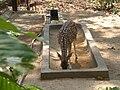Chital Deer.jpg