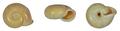 Chloritis togianensis shell.png