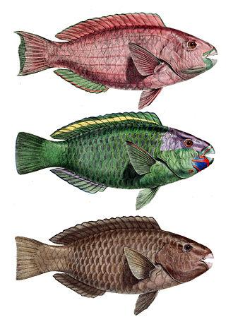 Franz Hermann Troschel - Different variety of Troschel's parrotfish.