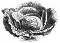 Chou de Hollande tardif Vilmorin-Andrieux 1883.png