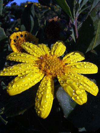 Calenduleae - Image: Chrysanthemoides monilifera (Rondevlei Nature Reserve, South Africa)