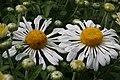 Chrysanthemum Corrine 1zz.jpg