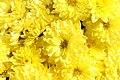 Chrysanthemum Padre Yellow 2zz.jpg