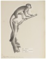 Chrysothrix sciureus - 1809-1845 - Print - Iconographia Zoologica - Special Collections University of Amsterdam - UBA01 IZ20200206.tif