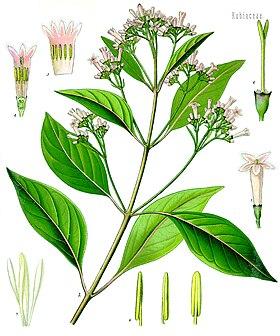 Cinchona officinalis - köhler–s medizinal-pflanzen-180