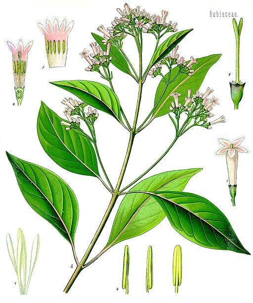 planche botanique du quinia rouge