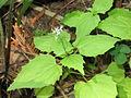 Circaea alpina 1-eheep (5097839676).jpg