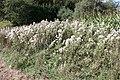 Cirsium arvense - Bliesen - Bauernstall - 2019-09-02, 1.jpg