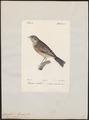 Citrinella hortulana - 1842-1848 - Print - Iconographia Zoologica - Special Collections University of Amsterdam - UBA01 IZ16100233.tif