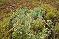Cladonia fimbriata 04.JPG