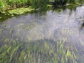 Clear waters of the River Nene - June 2009 - panoramio.jpg