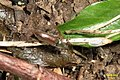 Click beetle (HW) (13989731320).jpg