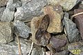 Click beetle upturned (NH266) (21608067321).jpg