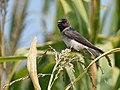 Cliff Swallow - juvenile (30204389318).jpg