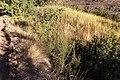 Cliffortia nitidula pilosa 15259985.jpg