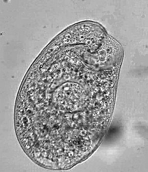 Climacostomum - Climacostomum sp.