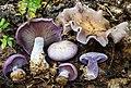 Clitocybe nuda (Fr.) H.E. Bigelow & A.H. Sm 267650.jpg