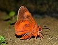 Close wing position of Burara oedipodea Swainson, 1820 – Branded Orange Awlet. WLB DSC 0004.jpg